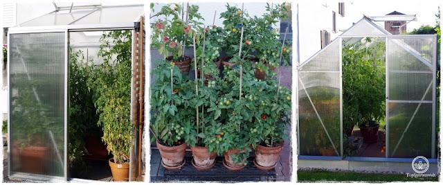 Gartenblog Topfgartenwelt Tomaten Tomatenanbau in großen Töpfen und Trögen: Tomatenpflanzen ausgeizen