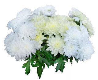 Цветок имени Наталия — астра