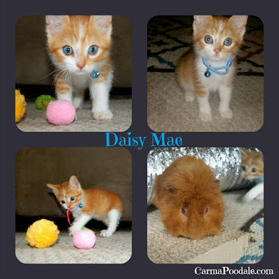 Kitten photo collage- CarmaPoodale.com #kitten #daisyMae