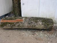 切り出した楠の幹