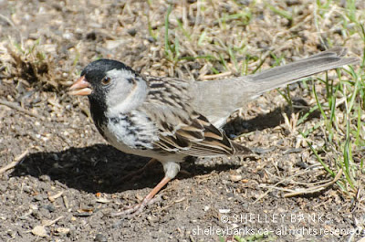 Harris's Sparrow. Photo © Shelley Banks, all rights reserved.