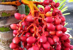 Pinang Merah - tanaman penangkal santet guna-guna ilmu hitam