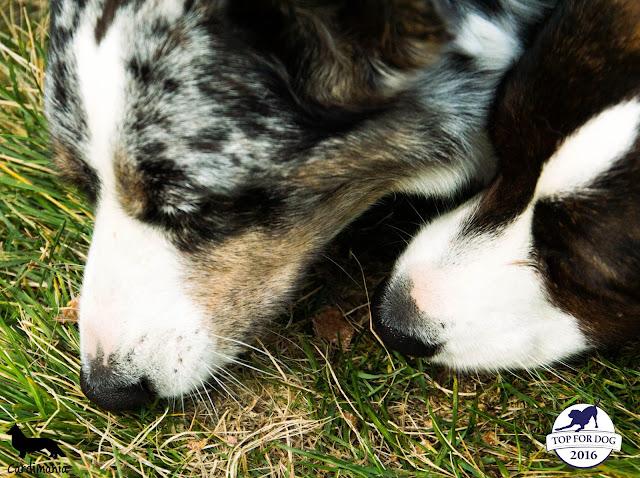 ambasador, ares, bracia maciołek, pies w podróży, pies w górach, podróże z psem, w góry z psem, z psem na urlopie, urlop z psem, w psem w Sudety, sudety z psem, karkonosze z psem