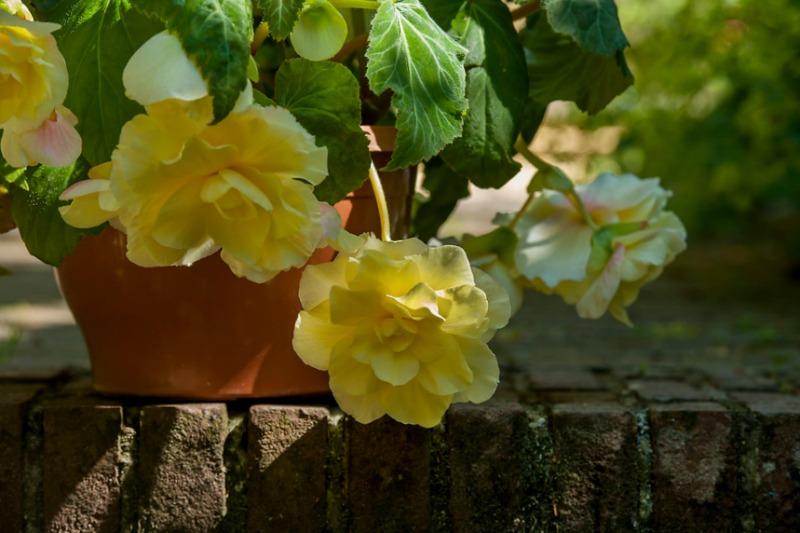 "Begonia pendula ""Cascade Odorosa"""