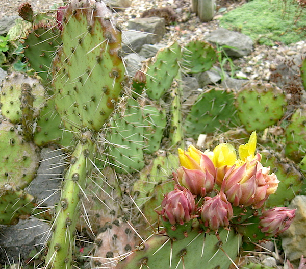 Growing Hardy Cacti Outside In