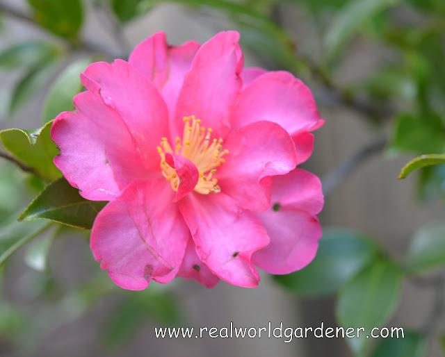 1-camellia%2Bhiryu.JPG