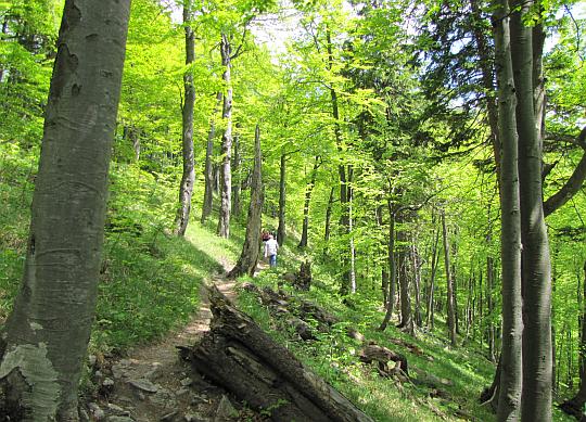 Idziemy przez ładny bukowy las prześwietlony promieniami słonecznymi.
