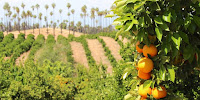 Citrus groves in the drought-hit US state of California. (Image Credit: David Fulmer / Flickr) Click to Enlarge.