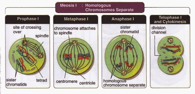 Meiosis I Homologous Chromosomes Separate  New Science -3800