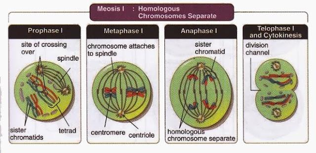 Meiosis I Homologous Chromosomes Separate ~ New Science ...