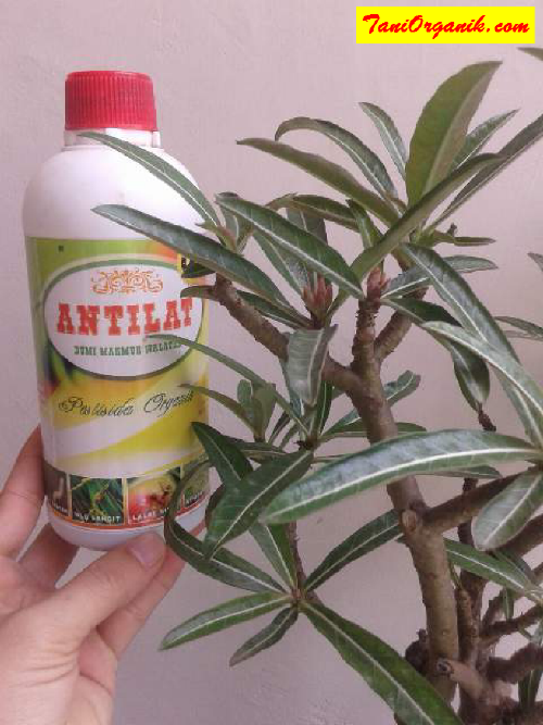 Cara Mengatasi Hama Pada Tanaman Bunga Adenium (Ibu Stevia, Jambi, 2015)