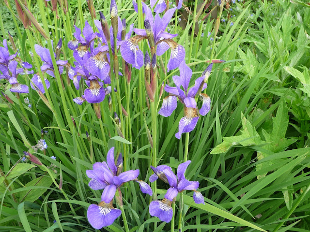 Japanese blue and Siberian blood Iris