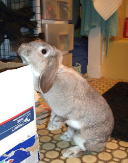 kelinci sedang mengendus makanan