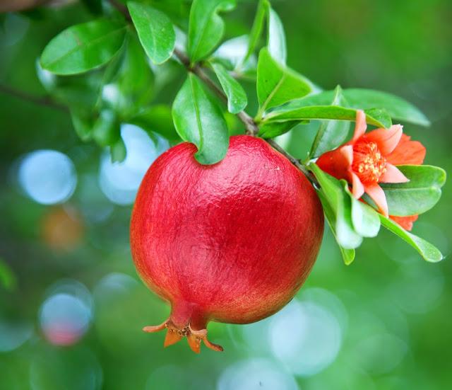 Manfaat Dari Buah Delima Untuk Kesehatan, khasiat dari buah delima untuk tubuh