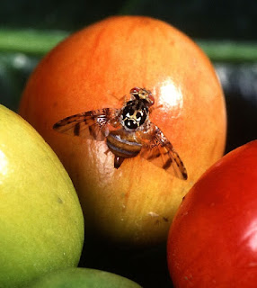 The tiny fruit fly defies evolution and affirms creation.