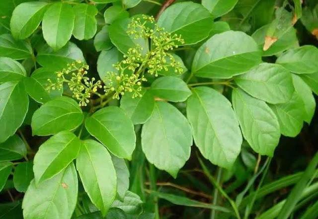 12 loại cây cỏ trị đau bao tử an toàn và hiệu quả hơn cả thuốc tây