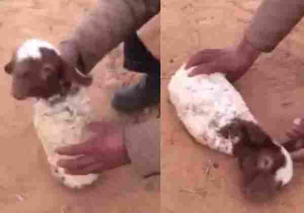بالفيديو خروف بدون ارجل