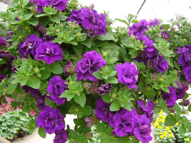 hoa dạ yến thảo tím