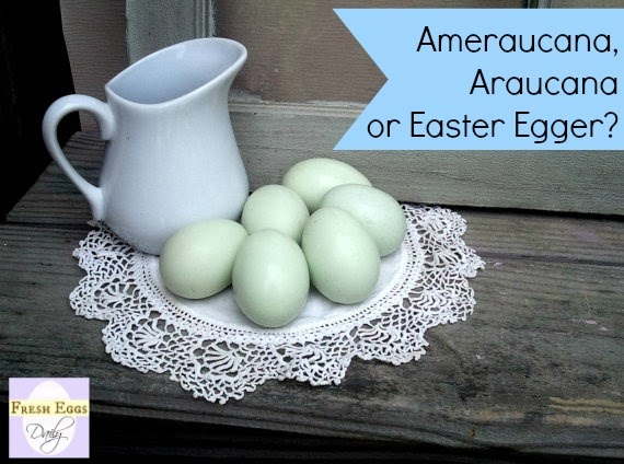 Coloring Pictures Of Animals That Lay Eggs : Ameraucana vs. araucana easter egger the blue egg layers