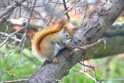 one of the local red squirrels