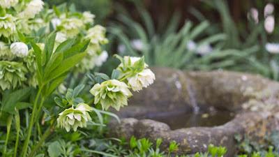 Christrosen sind immergrüne, robuste und pflegelichte Pflanzen für den Garten
