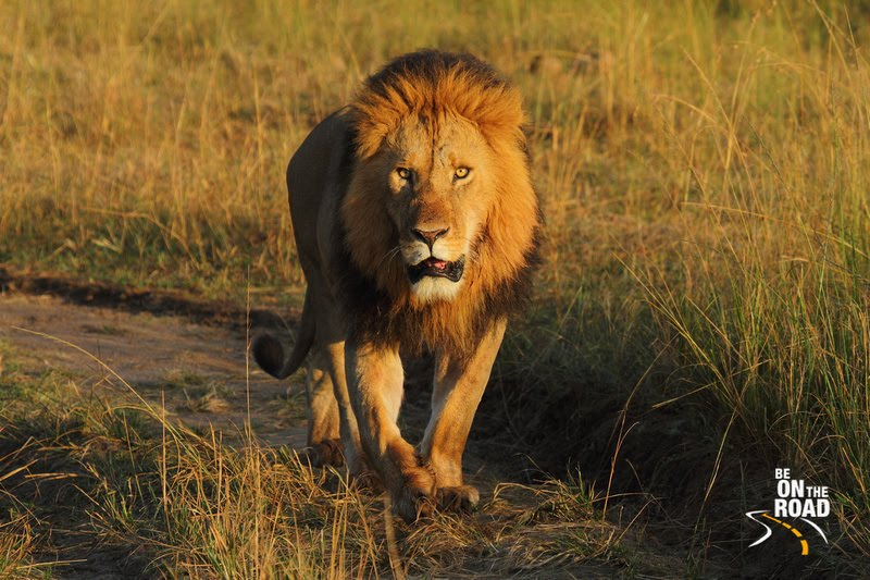The King from Maasai Mara, Kenya