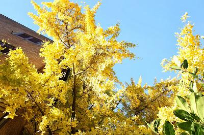 Spoleto: albero giallo