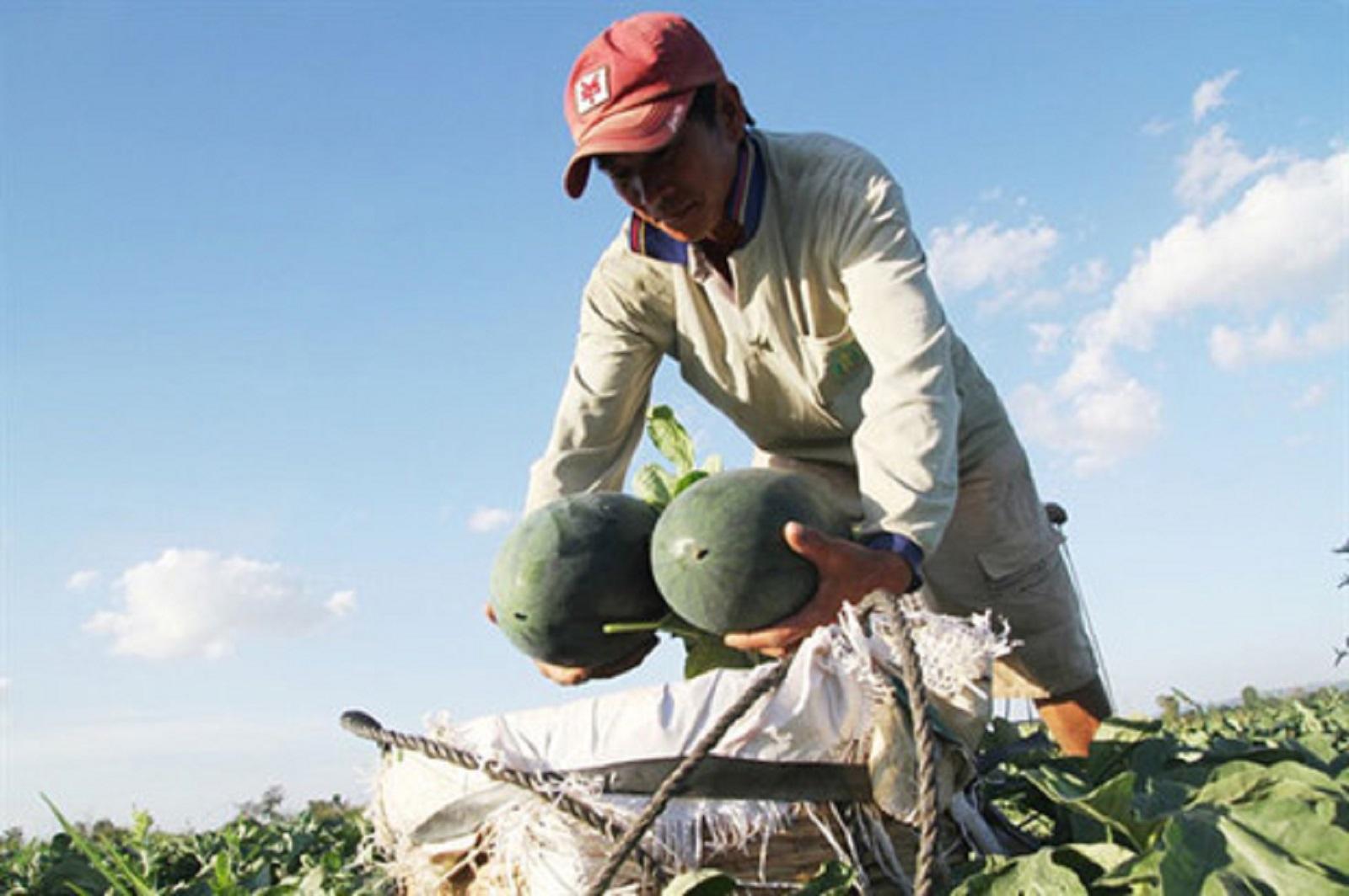 Nông dân Gia Lai thu về lợi nhuận 200 triệu/ha dưa hấu