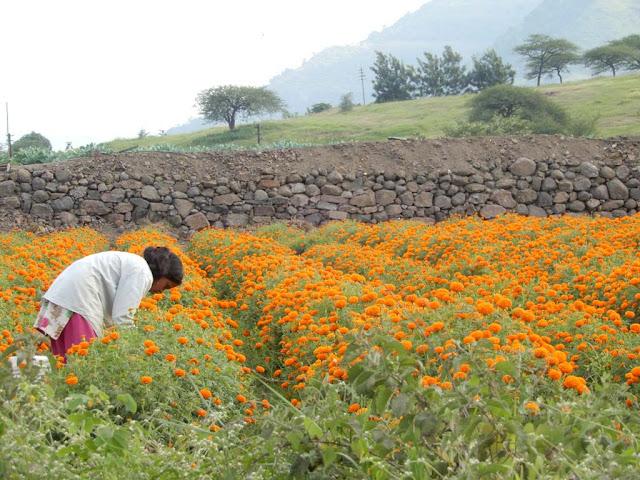 Flower Produstion in Maharashtra