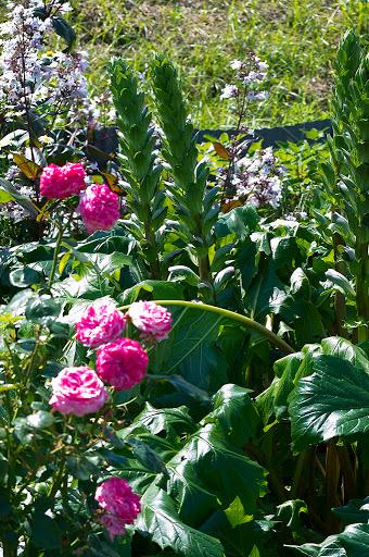 アカンサス・モリスの花径