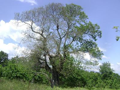 """Νεκρώνονται από μύκητα καστανιές στη Θεσπρωτία: """"Θύμα"""" του και το αρχαιότερο δένδρο της περιοχής!"""