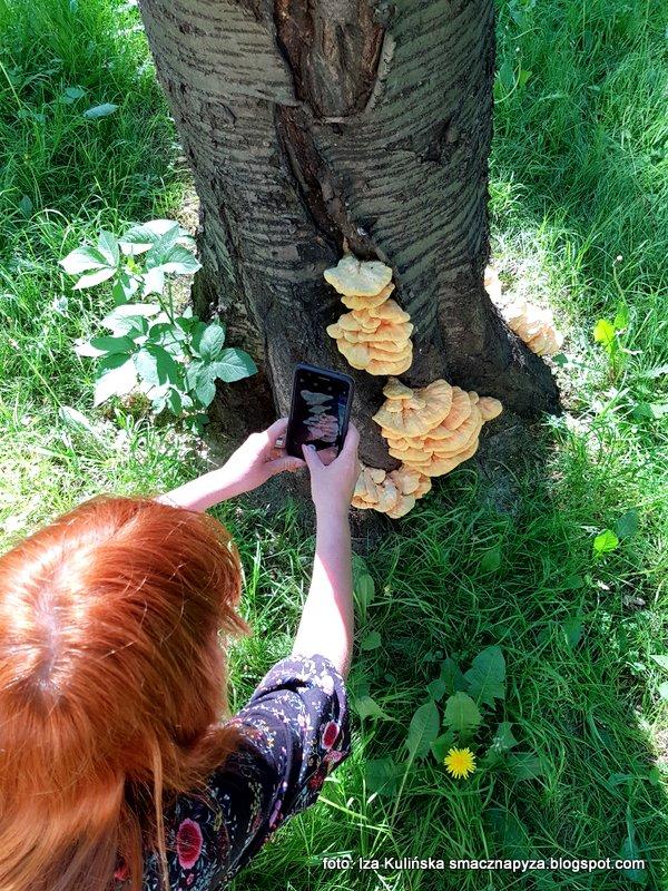 fotografowanie, telefon, fotka, grzyby na drzewie, skwer osiedlowy, kolezanka, lekcja grzybiarstwa, ekspert,
