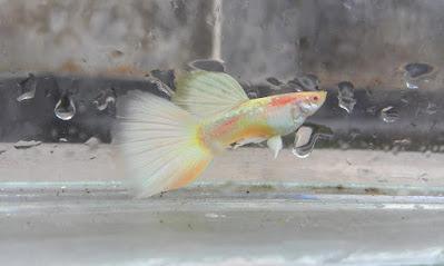 Ikan Guppy Albino German Yellow
