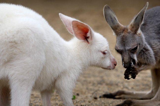 Beagle Reviews Albino Kangaroo | Fun ...