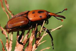 Cara Atasi Hama Kumbang Moncong Kelapa Sawit