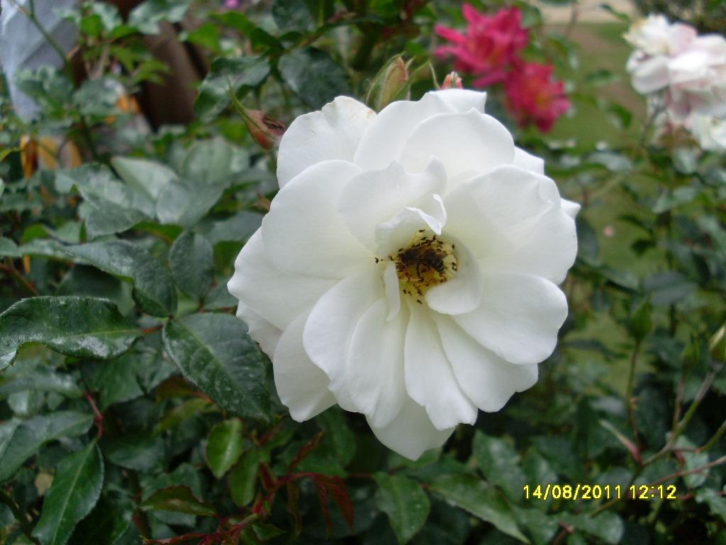 White Rose Flower Images Gallery Adsleaf