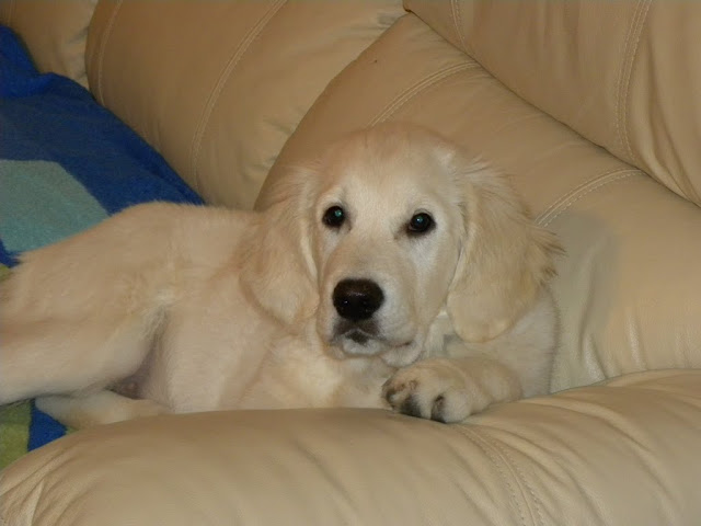 Golden Retriever Tessa