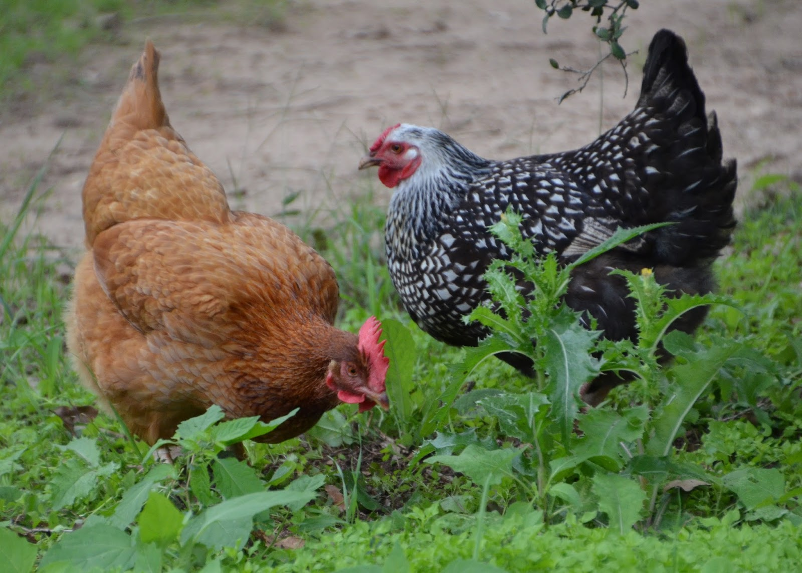 central texas horticulture chickens in your backyard