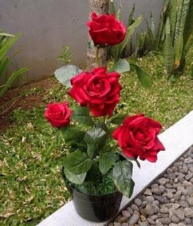 budidaya mawar dari biji,budidaya mawar dengan stek,cara budidaya bunga mawar,cara budidaya mawar potong,cara budidaya mawar hitam,cara budidaya mawar merah,