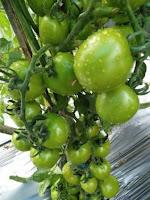 jual bibit tanaman, tanaman tomat, tomat buah, jual benih tomat, lmga agro