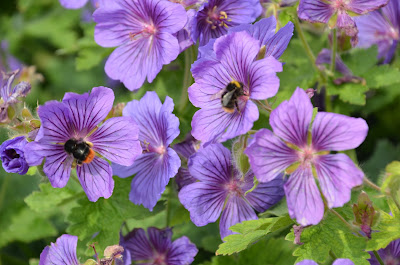 Geranium pratense 'Johnson's Blue' with bees on the blooms