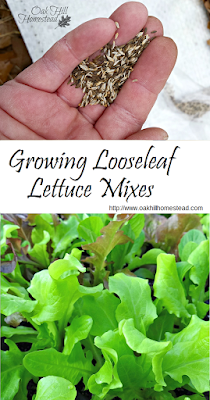 Looseleaf lettuce are easy to grow and can be harvested in about four weeks. Why grow just one variety? Create a signature blend of your favorites!  |  from Oak Hill Homestead