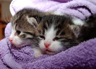 Jenis Kucing Ras Paling Lucu beserta Harga Terbaru, kampung domestik