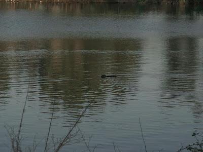 Nutria nel Lago di Falciano