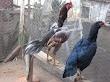 Ciri - Ciri Ayam Aduan Bagus Layak Untuk Materi Ternak Pacek / Pejantan dan Indukan / Babon