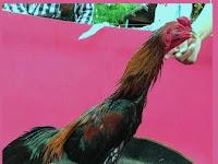 3 Cara Membuat Ayam Aduan Jadi Super Ganas Dan Agresif