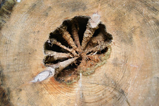 Mitten in einem Baumstamm befindet sich ein Loch in Form einer Muschel