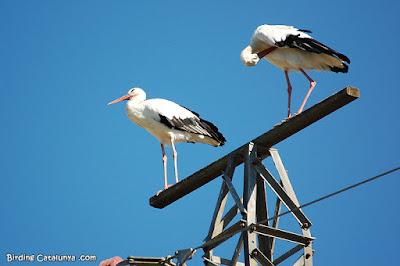 Cigüeñas sobre una torre de alta tensión