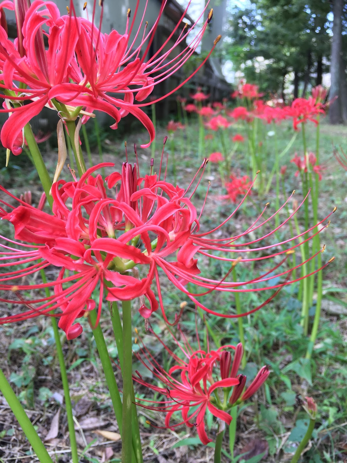 Red spider lily higanbana a symbol of autumnd death red spider lilies higanbana in bloom izmirmasajfo