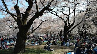 Koganei Park hanami